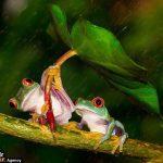 قورباغه ها هم  زن ذلیل شدند! + عکس