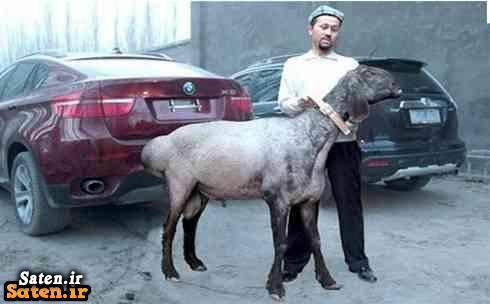 گونه های گوسفند گوسفند گران گوسفن گران گرانترین گوسفند جهان قیمت لیموزین قیمت لامبورگینی قیمت گوسفند دولان قیمت گوسفند شغل پر سود پروش گرانترین گوسفند پر سود ترین موجودات زمین انواع گوسفند