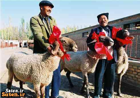 گونه های گوسفند گوسفند گران گوسفن گران گرانترین گوسفند جهان قیمت لیموزین قیمت لامبورگینی قیمت گوسفند دولان قیمت گوسفند شغل پر سود پرورش گرانترین گوسفند پر سود ترین موجودات زمین انواع گوسفند