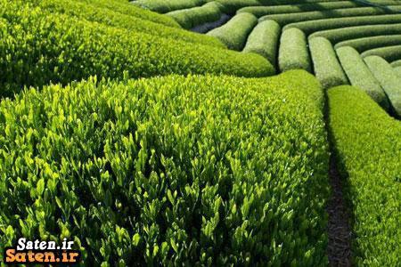 واردات چای هندی واردات چای مافیای واردات قیمت چای هندی قیمت چای خارجی قیمت چای پاکستانی چایکار گیلانی