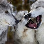 گرگها ۶ کودک زنجانی را خوردند