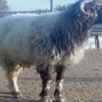 """گوسفندی که توانست خودروی """"پورشه"""" را بگیرد!  + عکس"""