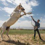 فروش نطفه اسب در ایران به قیمت ۶ میلیون تومان!/ اسب عقیم نشده یک میلیارد تومان
