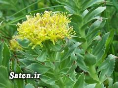 گیاهان دارویی و خواص آنها خواص گیاهان Rhodiola
