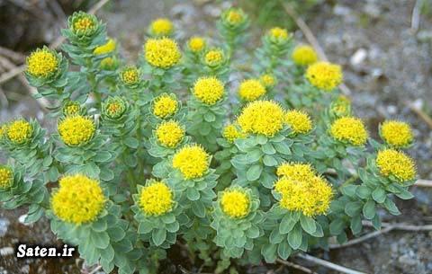 گیاهان دارویی و خواص آنها گیاه رودیولا روزا داروی ضد پیری خواص گیاهان جلوگیری از پیری Rhodiola