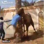 شتر با سر بریده از قصابش انتقام گرفت! + فیلم