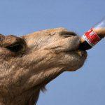 شتری به خاطر  کوکا کولا مالک خود را کشت