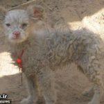 گوسفندی که توله سگ زائید! + عکس