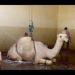 شغل جدید ، ماساژ و کارواش شتر در عربستان + عکس