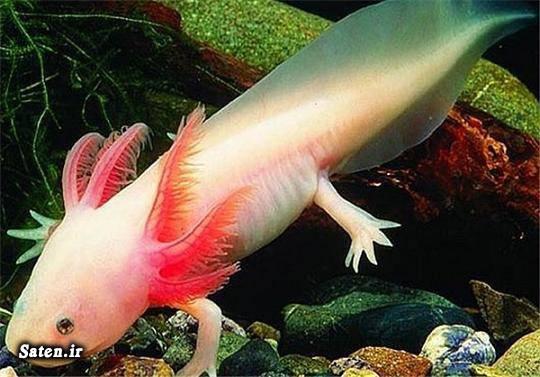 ماهی زینتی عجیب الخلقه حیوانات عجیب دنیا اکسولوتل