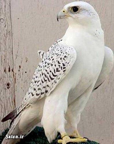 قیمت پرنده شکاری فروش پرنده زیبا فروش پرنده بالابال پرنده بالابال Saker falcon