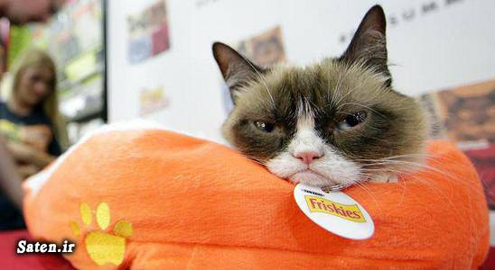 گرانترین گربه قیمت گربه گرامپی قیمت گربه فروش گربه فروش حیوان خانگی