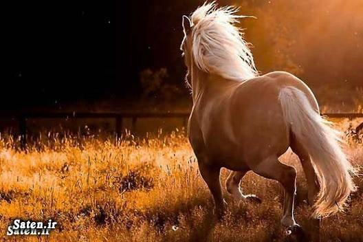 گرانترین اسب قیمت اسب ایرانی توجیح پرورش اسب اسب نژاد کردی اسب نژاد خزر