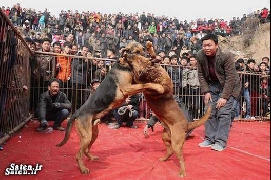 عکس سگ عکس دعوای سگها عکس دعوای سگ ها عکس چین جنگ دعوای سگها