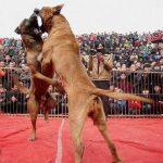جنگ سگ ها در چین و این همه تماشگر ضد حیوان + عکس