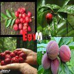 میوه ای که تومورهای سرطانی حیوانات را نابود می کند + عکس