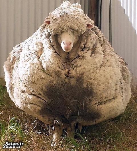 قیمت گوسفند پشم گوسفند بهترین نژاد گوسفند
