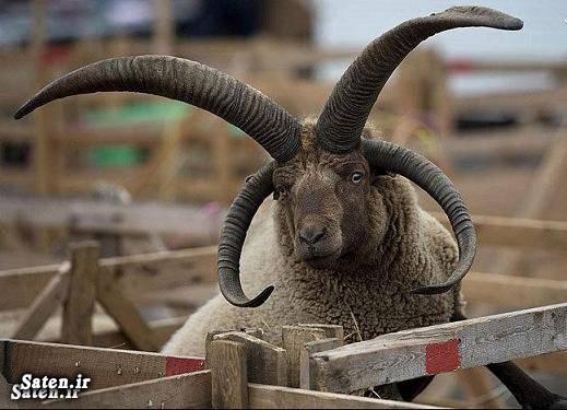 گرانترین گوسفند جهان بهترین نژاد گوسفند