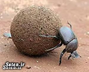 مناطق گردشگری ایران مناطق توریستی ایران گوگلونک سرگین غلتانک Dung beetle