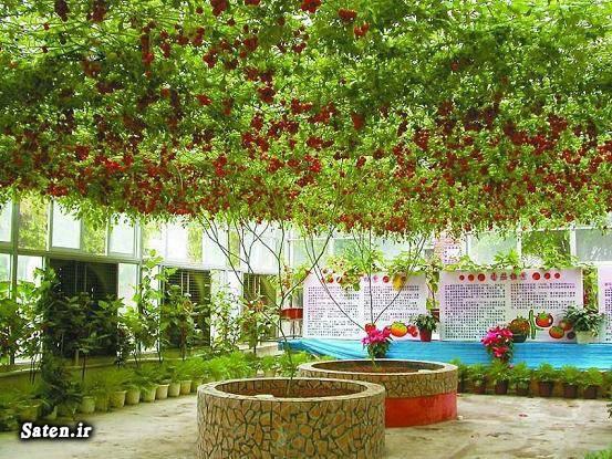 کشت گوجه فرنگی شغل پر سود شغل پر درآمد آموزش کشاورزی Tomato Tree