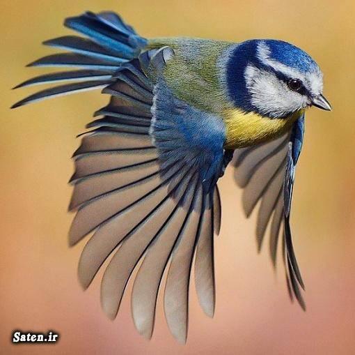 فروش پرنده زیبا حیوان زیبا چرخ ریسک سرآبی پرنده کمیاب Eurasian blue tit