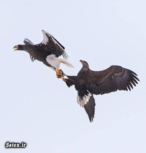 عکس زیبا عکس جالب عکس پرندگان عقاب کمیاب