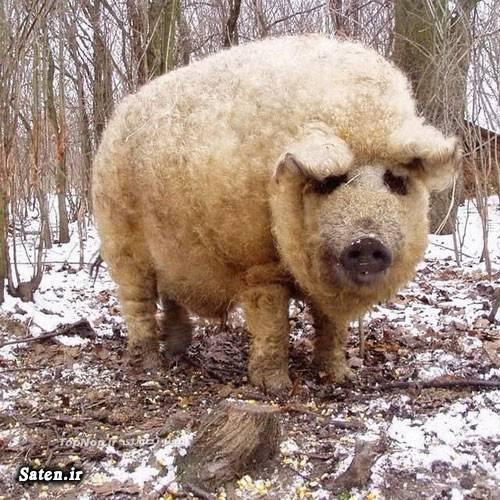 عکس جالب خوک گوسفندی حیوان عجیب حیوان جالب