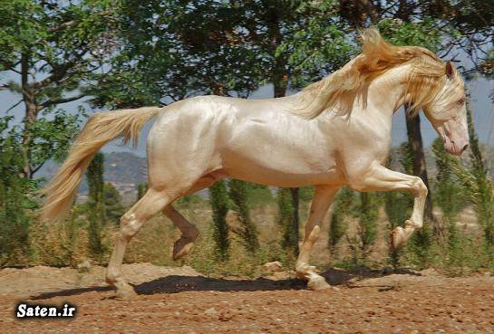 نژاد اسب گرانترین اسب قیمت اسب زیباترین اسب بهترین اسب اسب ترکمن Akhal teke