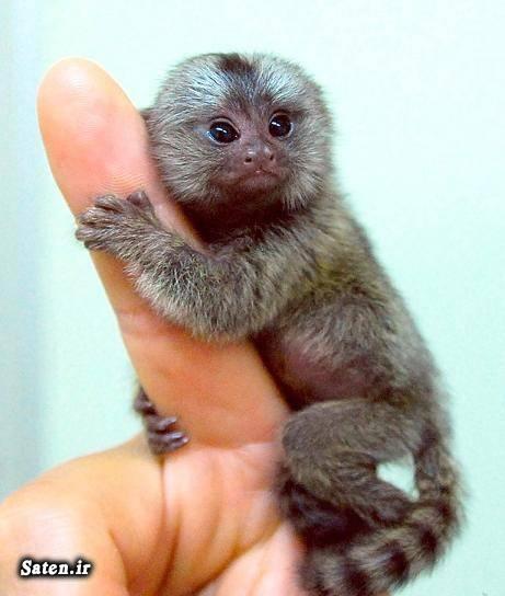 میمون کمیاب حیوانات نادر حیوانات کمیاب حیوان عجیب حیوان زیبا حیوان خانگی حیوان جالب