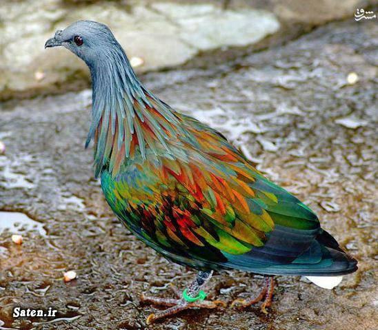 کبوتر کمیاب کبوتر زیبا فروش پرندگان زینتی حیوانات عجیب دنیا حیوان کمیاب