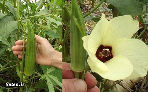 مجله سلامت طب سنتی خواص گیاهان خواص بامیه Okra