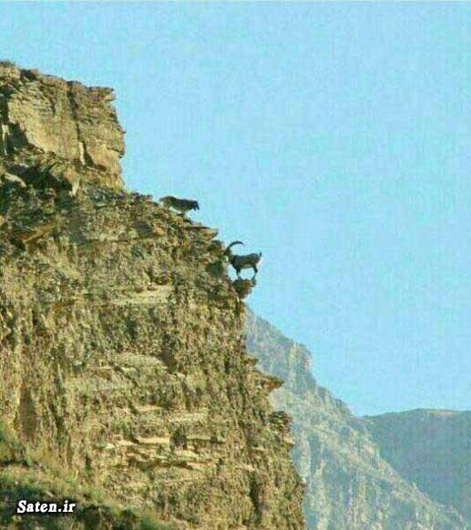 عکس نادر عکس طبیعت عکس زیبا بز کوهی