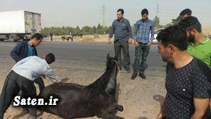 قیمت اسب حوادث یزد بیمه اسب اخبار یزد