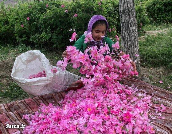 طرز تهیه گلاب درمان با گل محمدی خواص گیاهان خواص گلاب خواص گل محمدی