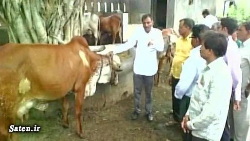 گاو هندی کشف طلا حیوانات عجیب دنیا اخبار هند
