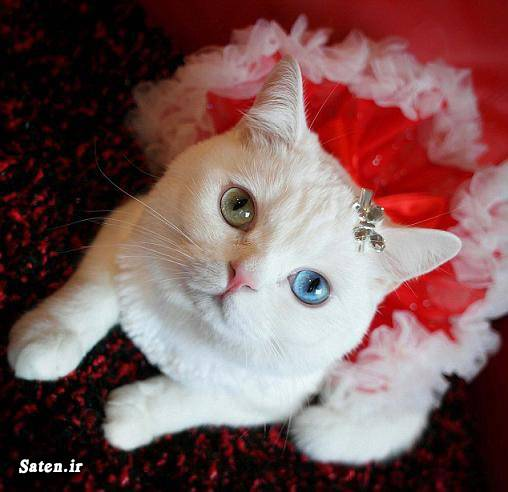گرانترین گربه قیمت گربه فروش گربه عکس گربه زیبا پولدار شدن