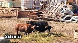 قیمت سگ عکس ابتکار سگ نگهبان بهترین نژاد گاو اخبار اسپانیا ابتکار جالب
