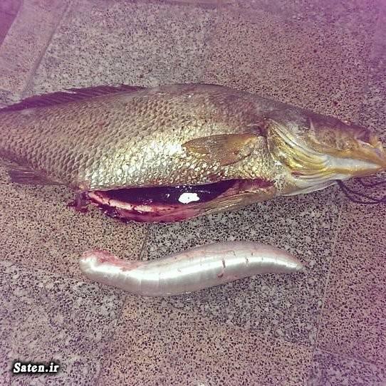 میش ماهی کر کیسه شنای میش ماهی قیمت ماهی میش عبدالرحمن بادسار شغل پر درآمد راز یک شبه ثروتمند شدن اخبار جاسک