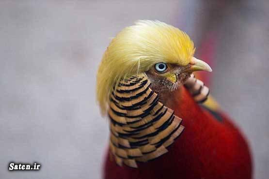 همسر دونالد ترامپ قیمت پرندگان کمیاب قرقاول طلایی حیوانات کمیاب پرنده کمیاب بیوگرافی دونالد ترامپ ایوانا ترامپ