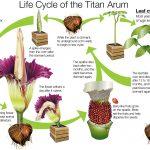گل کمیاب گل عجیب گل بدبو یا گل جسد غول پیکرها عکس کمیاب اخبار شیکاگو Amorphophallus titanum