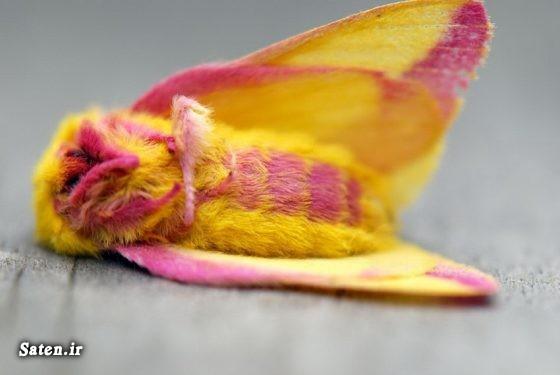 نام حشرات عکس های زیبا عکس پروفایل جالب شب پره رز مانند حشره شناسی حشره زیبا تصاویر حشرات زیبا Rosy Maple Moth