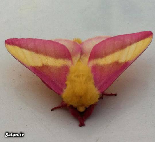 نام حشرات عکس زیبا عکس پروفایل جالب شب پره رز مانند حشره شناسی حشره زیبا تصاویر حشرات زیبا Rosy Maple Moth