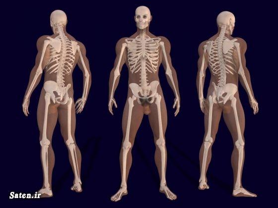 نام استخوان های بدن مجله پزشکی اسکلت بدن زن اسکلت بدن انسان آناتومی اسکلت آناتومی