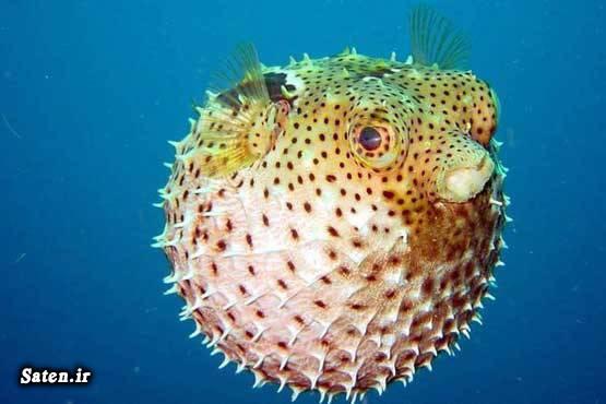 ماهی های سمی ماهی عجیب ماهی بادکنکی سمی عکس ماهی حیوانات عجیب دنیا انواع ماهی