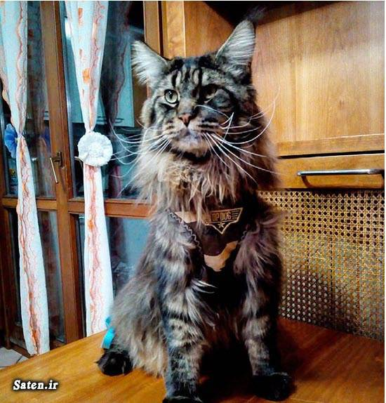 کتاب گینس چیست کتاب رکوردهای گینس رکوردهای جهانی گینس دانلود کتاب رکوردهای گینس ترین های دنیا بزرگترین های جهان بزرگترین گربه