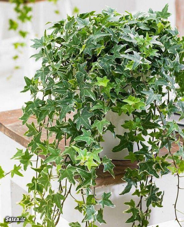 مشکلات پاپیتال گیاهان جالب کاشت گیاه قلمه زدن پیچک تکثیر پیچک بهترین گیاه برای نگهداری بهترین ترفندها